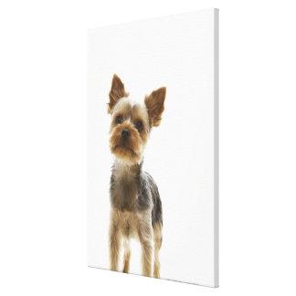 Yorkshire Terrier 2 Canvas Print