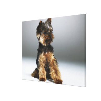 Yorkshire terrier, close-up canvas print