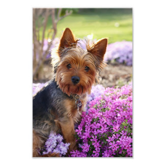 Yorkshire Terrier dog beautiful portrait photo
