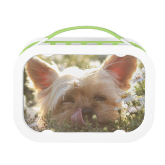 Yorkshire Terrier Laying in Sun licking lips Lunch Boxes