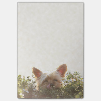 Yorkshire Terrier Laying in Sun licking lips Post-it Notes