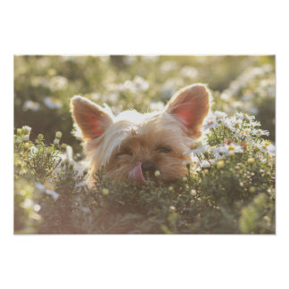 Yorkshire Terrier Laying in Sun licking lips Poster