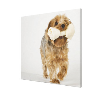 Yorkshire Terrier on white background walking Canvas Print