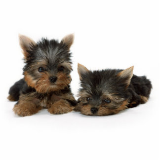 Yorkshire Terrier Puppies Photo Sculpture