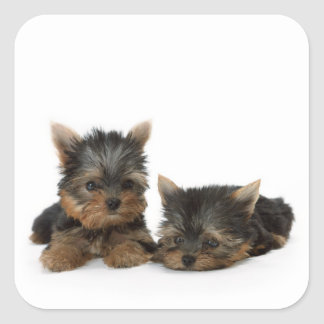 Yorkshire Terrier Puppies Sticker