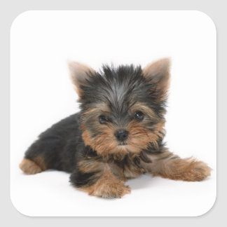 Yorkshire Terrier Puppy Sticker