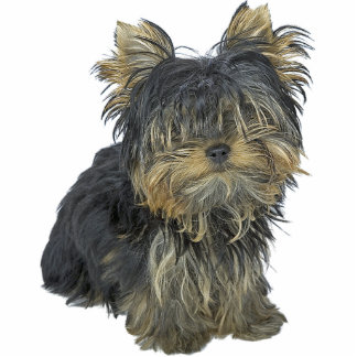 Yorkshire Terrier Standing Photo Sculpture