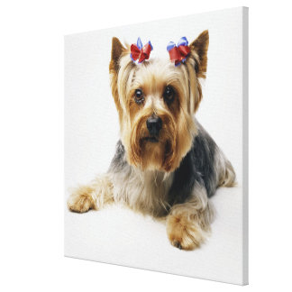 Yorkshire terrier wearing red bows canvas print
