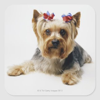 Yorkshire terrier wearing red bows square sticker