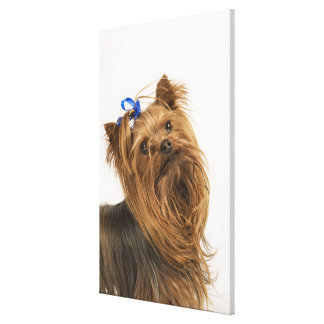 Yorkshire Terrier / Yorkie. Lively breed of Canvas Print