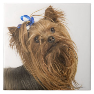 Yorkshire Terrier / Yorkie. Lively breed of Ceramic Tiles