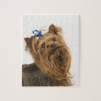 Yorkshire Terrier / Yorkie. Lively breed of Jigsaw Puzzle