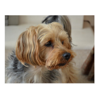 Yorkshire Terrier Zac Postcard