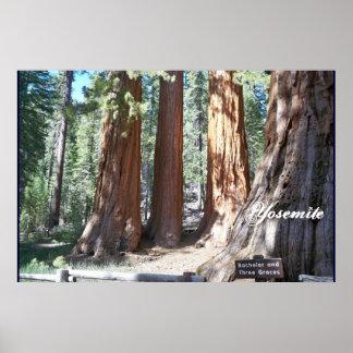 Yosemite big Trees 3 Graces  Poster