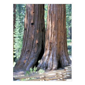 Yosemite Double Sequoia Trees photograph Postcard