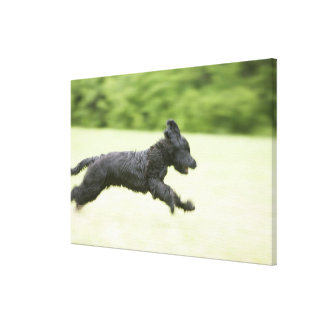 Young (5 months) black Briard (Berger de Brie), Stretched Canvas Prints
