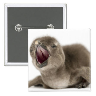 Young African Penguin - Spheniscus demersus. 2 Inch Square Button