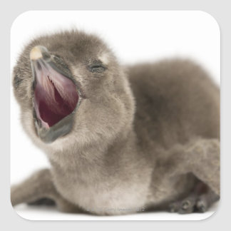 Young African Penguin - Spheniscus demersus. Square Sticker