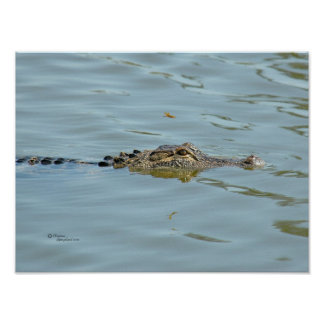 Young Alligator Poster