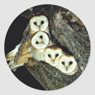 Young barn-owls, 9 weeks old round sticker
