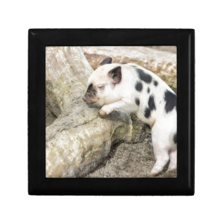 Young black and white piglet at tree trunk gift box