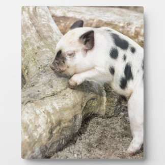 Young black and white piglet at tree trunk plaque