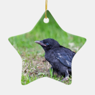 Young black crow sitting in green grass ceramic star ornament