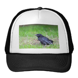 Young black crow sitting in green grass trucker hat
