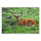 Young Buck Deer in Grass Card
