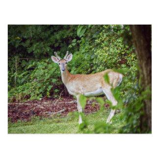 Young Buck in Velvet Postcard