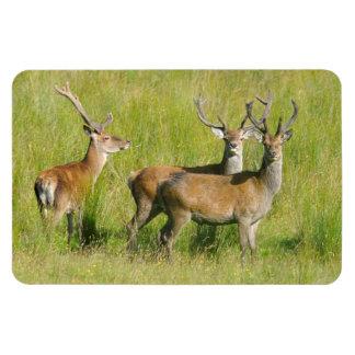 Young Bucks Deer in Scotland Photograph Magnet