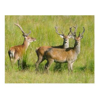 Young Bucks Deer in Scotland Photograph Postcard