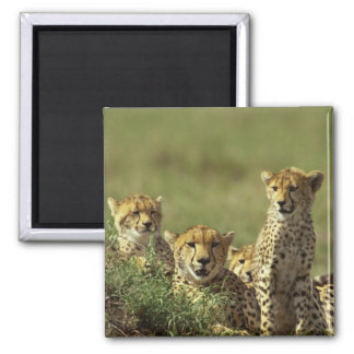 Young Cheetah Group Square Magnet