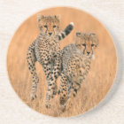 Young Cheetahs (Acinonyx Jubatus) Running Coaster
