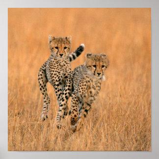 Young Cheetahs (Acinonyx Jubatus) Running Posters