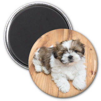 Young Chi Chu dog lying on parquet floor 2 Inch Round Magnet