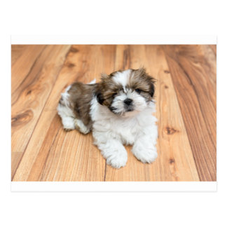 Young Chi Chu dog lying on parquet floor Postcard