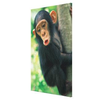 Young Chimpanzee (Pan troglodytes) Canvas Print