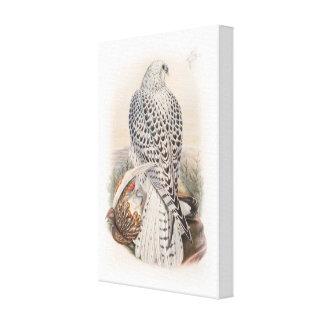 Young Dark Greenland Falcon Birds of Great Britain Canvas Print