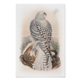 Young Dark Greenland Falcon Birds of Great Britain Poster