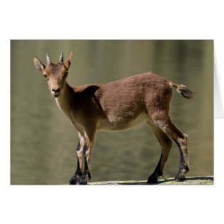 Young female wild goat, Iberian ibex, Spain Card