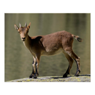 Young female wild goat, Iberian ibex, Spain Perfect Poster