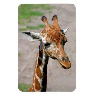 Young Giraffe Magnet