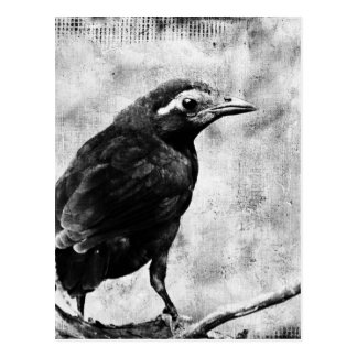 Young Grackle Postcard