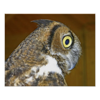 Young great horned owl indoors poster