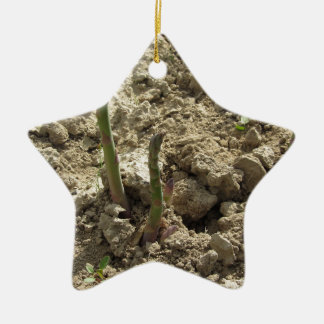 Young green asparagus sprouting from the ground ceramic ornament