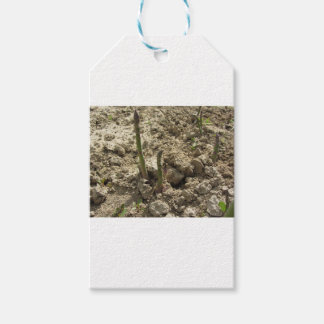Young green asparagus sprouting from the ground gift tags