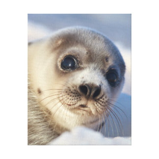 Young harp seal starting to shed its coat canvas print