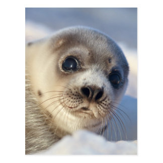 Young harp seal starting to shed its coat postcard
