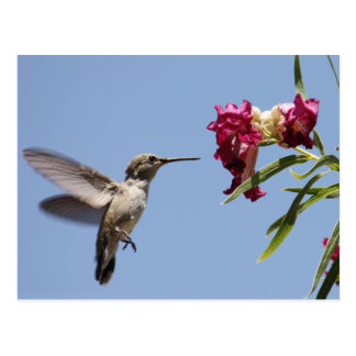 Young Hummingbird Postcard